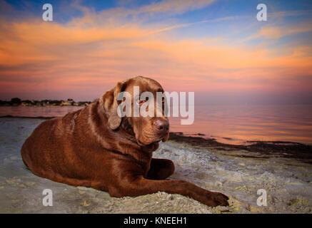 Chocolate Labrador Hund liegend am Strand - Stockfoto
