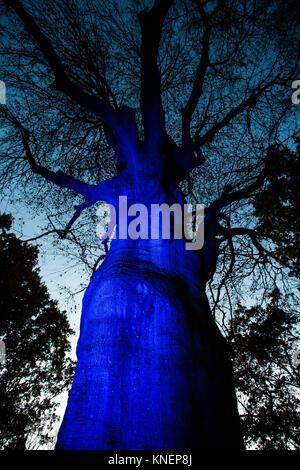 Große blau beleuchtete Baumstamm - Stockfoto