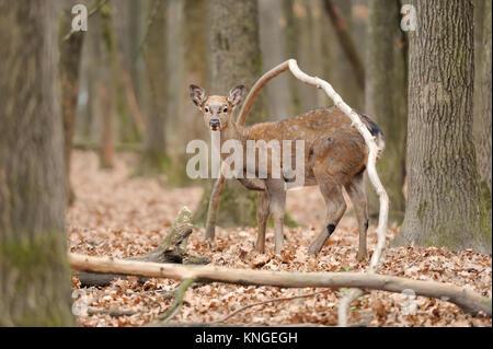 Schöne Rotwild im Wald - Stockfoto