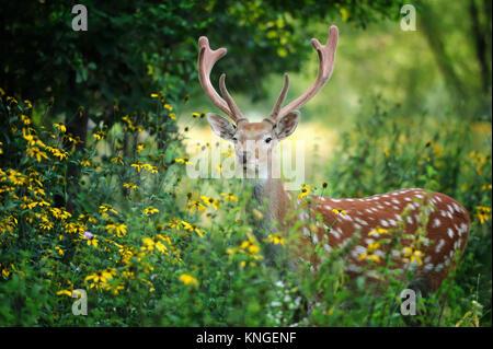 Whitetail Deer stehend in Sommerholz - Stockfoto