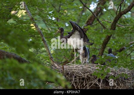 Schwarzer Storch/Störche (Ciconia nigra), Nachkommen, nestlinge, fast Flügge, Flattern mit Flügeln, in der typischen - Stockfoto