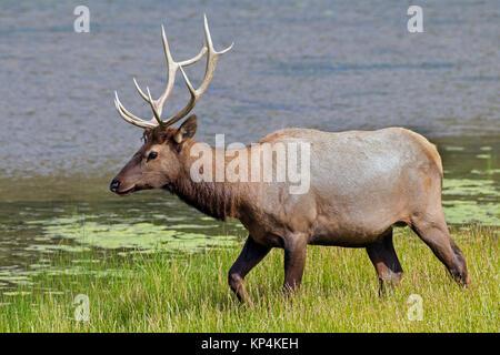 Elk/Wapiti (Cervus canadensis) Stier Nahrungssuche entlang der See im Sommer, Jasper National Park, Alberta, Kanada - Stockfoto