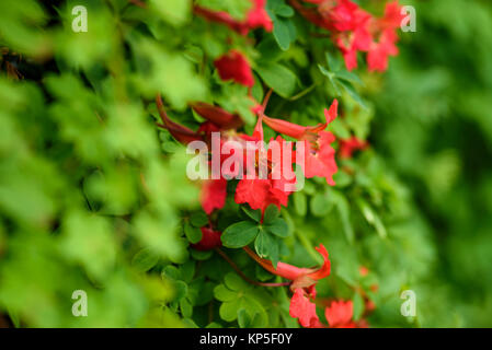 eine rote tropaeolum speciosum kletterpflanze w chst durch eine taxushecke stockfoto bild. Black Bedroom Furniture Sets. Home Design Ideas