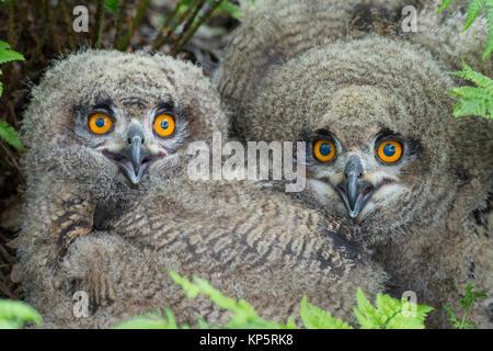 Uhu, Eurasian Eagle Owl, Bubo bubo -, Tiere, Vogel, Eulen, Eule, Eule, Eulen, Stringiformes, Voegel, vogel, vögel, - Stockfoto