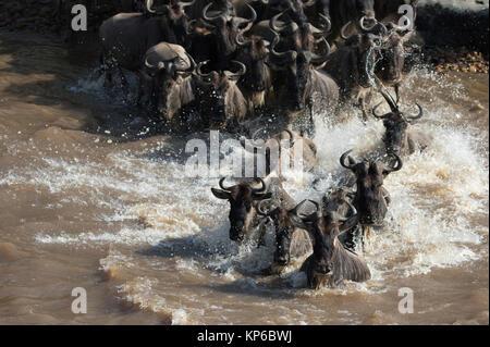 Masai Mara National Reserve. Herde von Migration der Gnus (connochaetes Taurinus) Kreuzung Mara River. Kenia. - Stockfoto