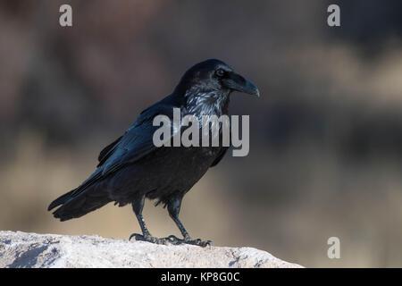 Kolkrabe (Corvus Corax), Bosque del Apache National Wildlife Refuge, New Mexico, USA. - Stockfoto