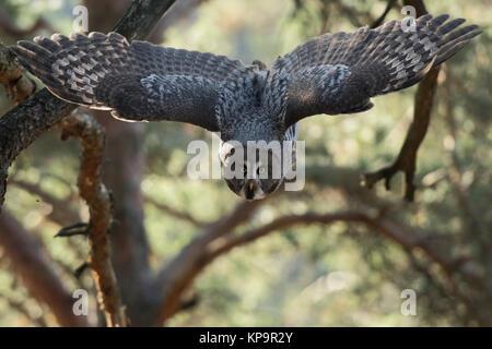 Bartkauz/Bartkauz (Strix Nebulosa) im Flug durch einen Pinienwald, nimmt für die Jagd, frontal geschossen, offenen - Stockfoto