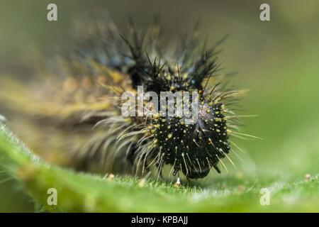 Kleiner Fuchs Caterpillar (Nymphalis urticae) Einblick in den Kopf. Cabragh Feuchtgebiete, Thurles, Tipperary, Irland.