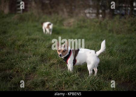 Kleine Jack Russell Terrier die Rasse Hund trägt ein Kabelbaum in einer Wiese mit einem anderen Jack Russell Terrier - Stockfoto