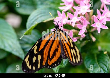 Monarchfalter (danaus Plexippus) (Außengewinde) - Stockfoto