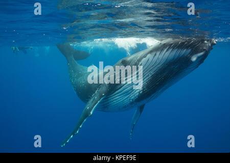 Buckelwal, Megaptera novaeangliae, und Schnorchler, Vava'u, Königreich Tonga, Südpazifik, MR 497 - Stockfoto