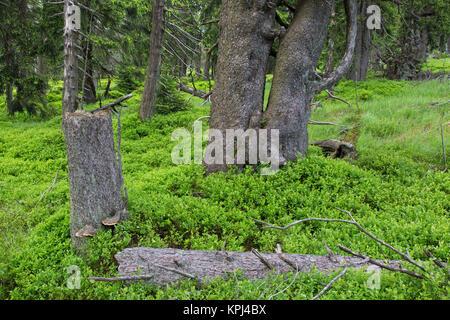 Gefallenen Baum im alten Nadelwald im Nationalpark Harz, Sachsen-Anhalt, Deutschland Fichte - Stockfoto