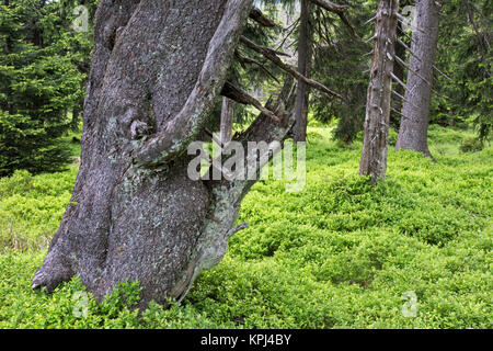 fichten picea abies fichte wald monokultur stockfoto bild 123123212 alamy. Black Bedroom Furniture Sets. Home Design Ideas