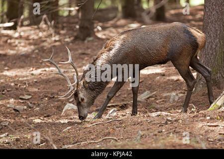 Rotwild, Cervus elaphus, Tschechische Republik - Stockfoto