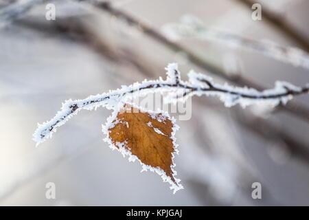 Omsk, Russland. 16 Dez, 2017. Ein Zweig der Baumstruktur weiß mit Frost. Credit: Dmitry Feoktistov/TASS/Alamy leben - Stockfoto