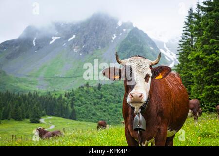 Vieh posiert in einer Wiese von Val Montjoie mit Aiguille de la Pennaz Berg im Hintergrund; Alpen, Frankreich - Stockfoto