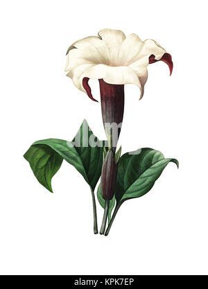 19. jahrhundert Abbildung eines Stechapfel. Kupferstich von Pierre-Joseph Redoute. In Choix Des Plus Belles Fleurs, - Stockfoto