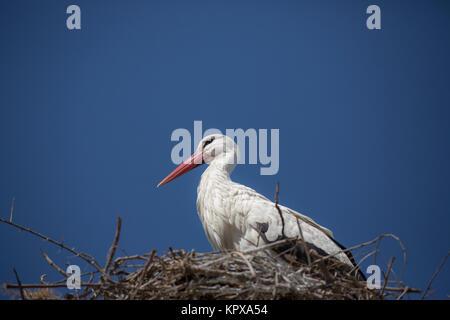 Storch im Nest - Stockfoto