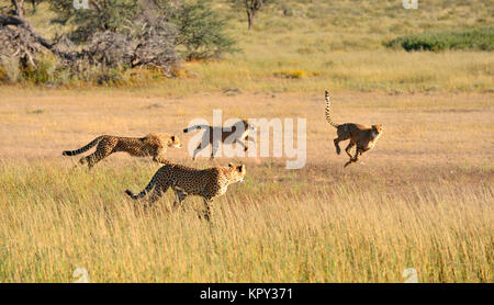 Der Kgalagadi Transfrontier Park zwischen Südafrika und Botswana ist prime Wüste Land für die Anzeige von Wildnis - Stockfoto