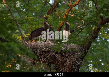 Schwarzer Storch/Störche (Ciconia nigra), jungen Küken im Sitzen, im Stehen in ihrem Nest, in eine Baumkrone einer - Stockfoto