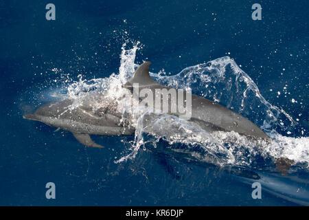Pantropical Spotted Delfin (stenella Attenuata) springen und Geselligkeit in der Nähe unseres Bootes - Stockfoto