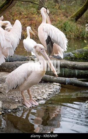 (Pelecanus onocrotalus) Große weiße Pelikane auch als die östliche weiße Pelikan bekannt, rosa Pelikan oder weiße - Stockfoto