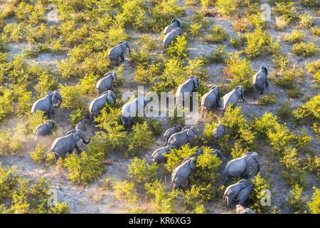 Luftaufnahme der Herde der Afrikanischen Elefanten zu Fuß durch den Busch in üppigen Delta. - Stockfoto