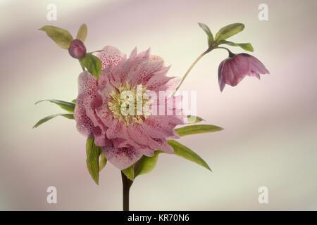 Germer, offenen Blüte Kopf auf einen Stiel, mit einer Knospe und zweiten Blüte in der Seitenansicht. - Stockfoto