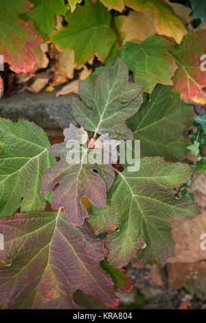 Hydrangea quercifolia - Stockfoto