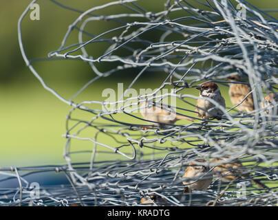 Spatzen sitzen innen verdrehten Maschendrahtzaun Stockfoto, Bild ...