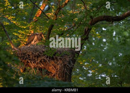 Schwarzstorch (Ciconia nigra), erwachsen Küken, Mauser Gefieder, in sein Nest, Horst in einer Buche, letzte Licht - Stockfoto