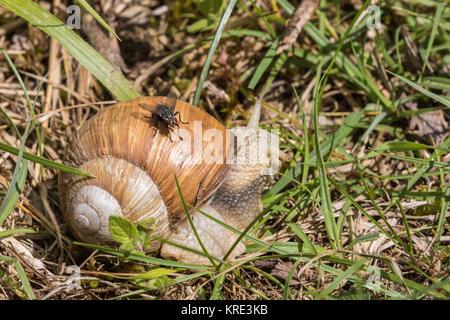 Roman Schnecke, Weinbergschnecken, weinbergschnecke oder Escargot. (Helix pomatia) - Stockfoto