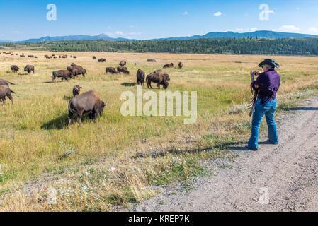 Frau in einem Cowboyhut nutzt Handy Foto von einer Herde von Bison, Grand Tetons National Park, Teton County, Wyoming - Stockfoto