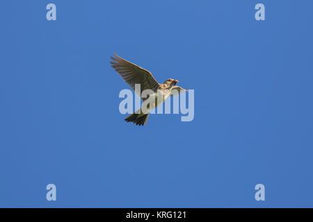 Feldlerche/gemeinsame Feldlerche (Alauda arvensis) fliegen mit gefangen grub in den Schnabel gegen den blauen Himmel - Stockfoto