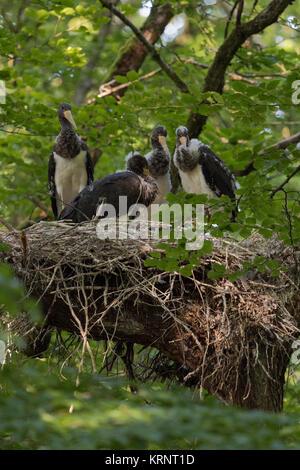Schwarzer Storch/Schwarzstorch (Ciconia nigra), jungen Küken ruht in ihrem Nest, in eine Baumkrone einer Buche versteckte, - Stockfoto