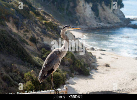 Blue Heron mit Blick auf kleine Corona Beach in Newport Beach Kalifornien an einem sonnigen Tag - Stockfoto