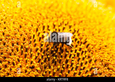 Blume, Sonnenblume, Nahaufnahme - Stockfoto