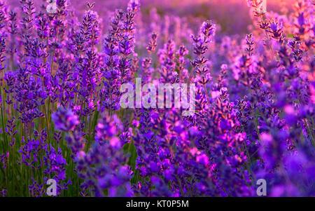 Lavendel-Feld in Tihany, Ungarn - Stockfoto