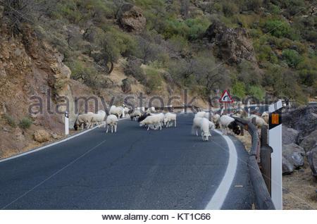 Herde Schafe (Ovis aries) auf der Straße. Die nublo ländlichen Park. Tejeda. Gran Canaria. Kanarischen Inseln. Spanien. - Stockfoto