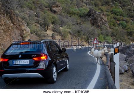 Herde Schafe (Ovis aries) auf der Straße und ein Auto warten. Die nublo ländlichen Park. Tejeda. Gran Canaria. Kanarischen - Stockfoto