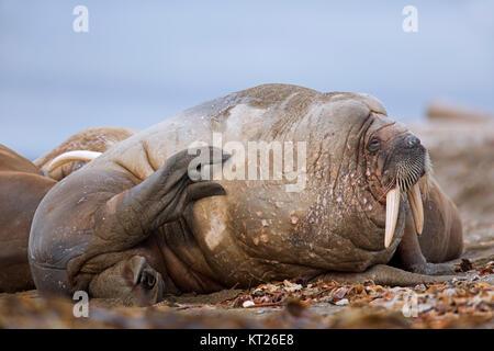 Sleepy männlichen Walross (Odobenus rosmarus) ruht auf Strand und Kratzen der Haut mit hind Flipper, Svalbard/Spitzbergen, - Stockfoto