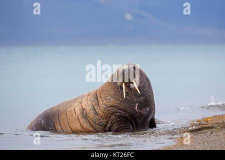 Männliche Walross (Odobenus rosmarus) Schleppen auf Strand, Svalbard/Spitzbergen, Norwegen - Stockfoto