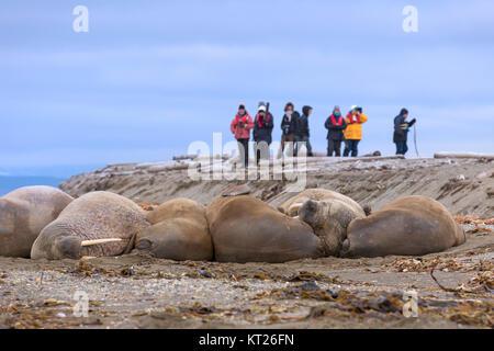 Eco - Touristen beobachten Gruppe männlicher Walrosse (Odobenus rosmarus) am Strand von Phippsøya in Sjuøyane, Nordaustlandet, - Stockfoto