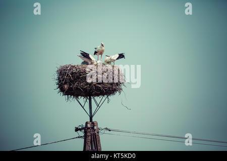 Storch mit Baby-Vögel im Nest, Polen. - Stockfoto