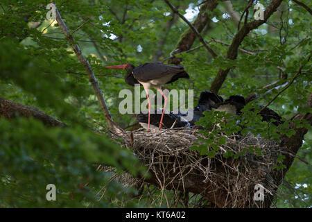 Schwarzer Storch/Störche (Ciconia nigra) im Nest Website, Erwachsene gemeinsam mit ihren Küken, Horst in einem riesigen - Stockfoto