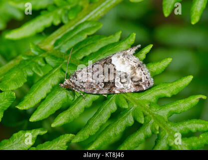 Marbled White Spot Motte (Deltote Protodeltote pygarga) war. Sussex, UK - Stockfoto
