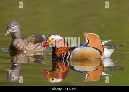 Mandarinente (Aix galericulata) Paar, Mann und Frau Schwimmen im Teich, beheimatet in Südostasien Stockfoto