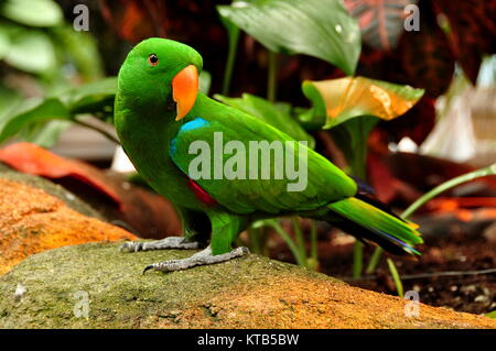 Eine eclectus Parrot genannt Lil E stellt für sein Porträt in den Gärten. - Stockfoto