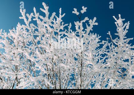 Ästen bedeckt mit Frost im Winter. - Stockfoto