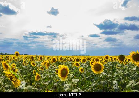 Feld mit Sonnenblumen nach Regen. Zusammensetzung der Natur. - Stockfoto